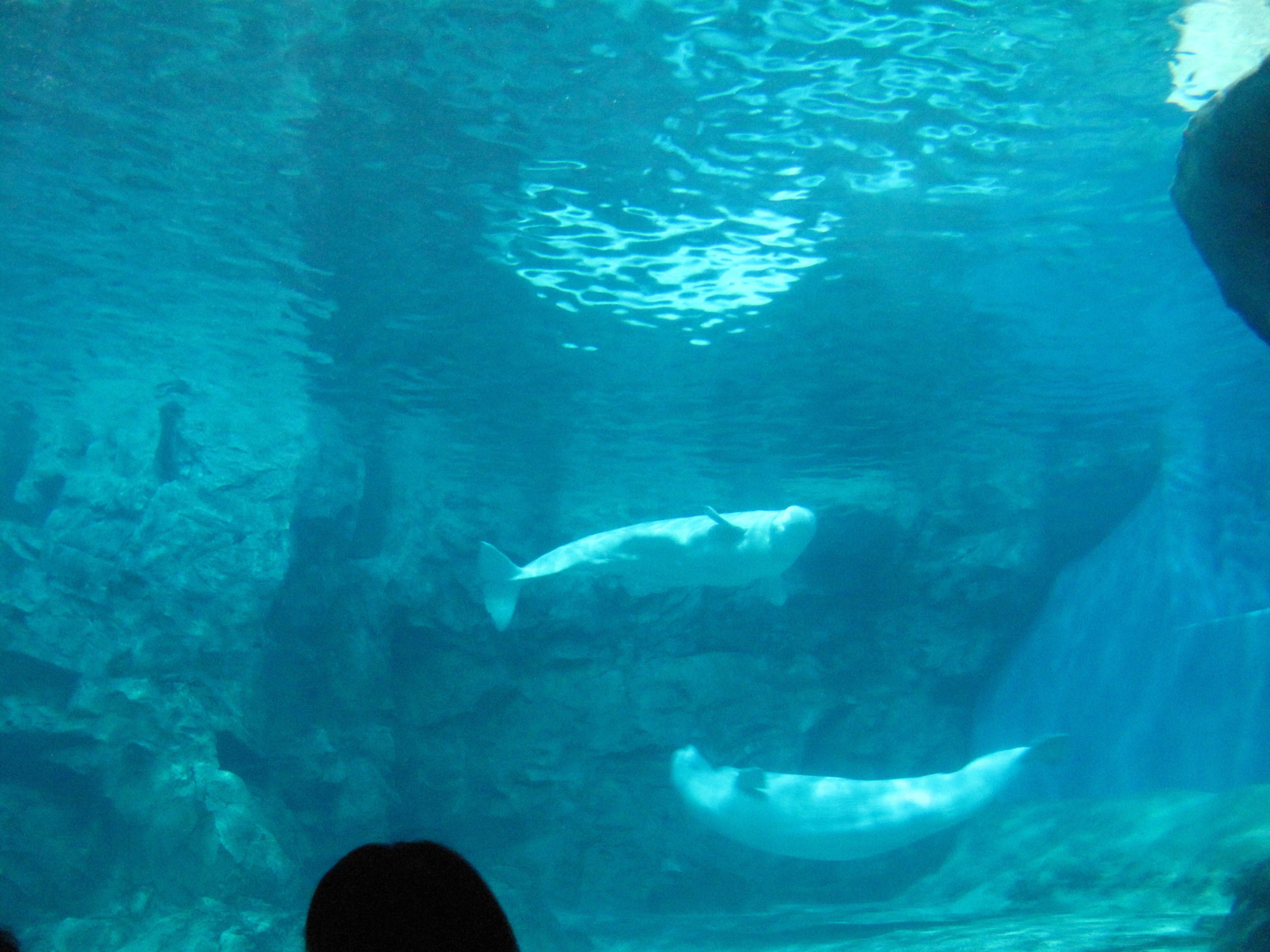 (画像3)名古屋港水族館のシロイルカ