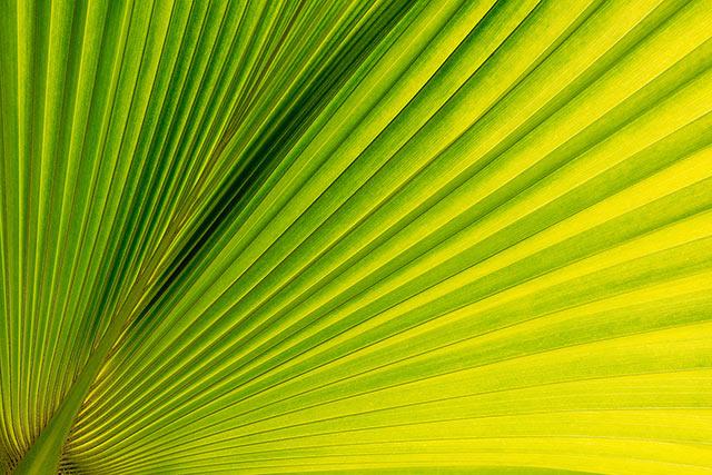 ロウルの葉(P. waialealeana